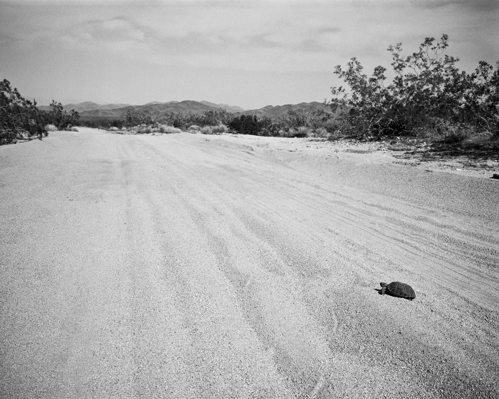 Joshua Tree Turtle
