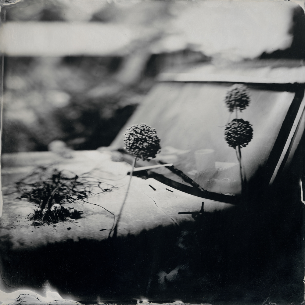 Garlic - Tintype Photograph
