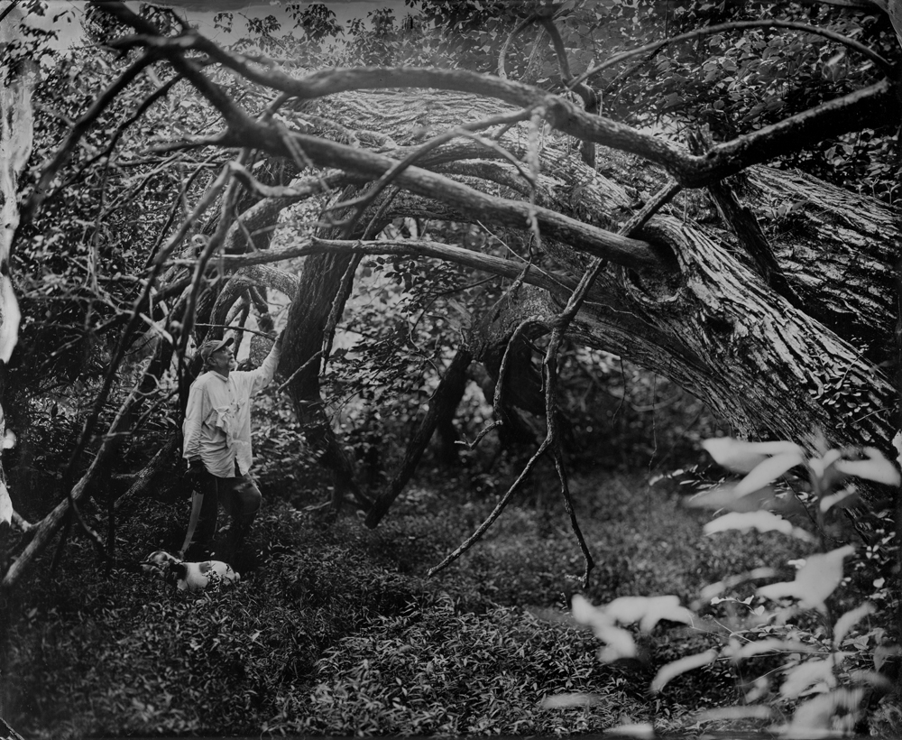 Fallen Tree - Tintype Photograph