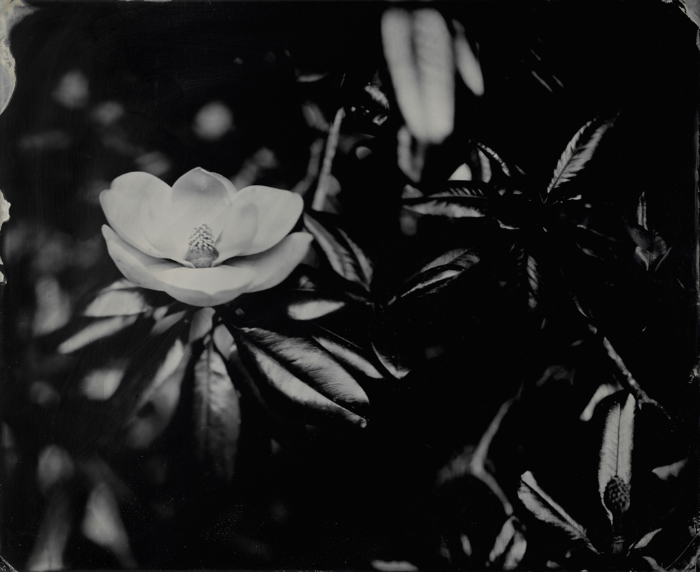 Magnolia Bloom - Tintype Photograph