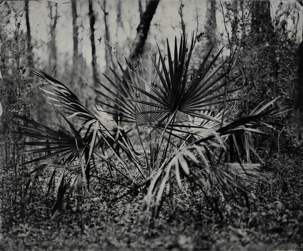 Palmetto - Tintype Photograph